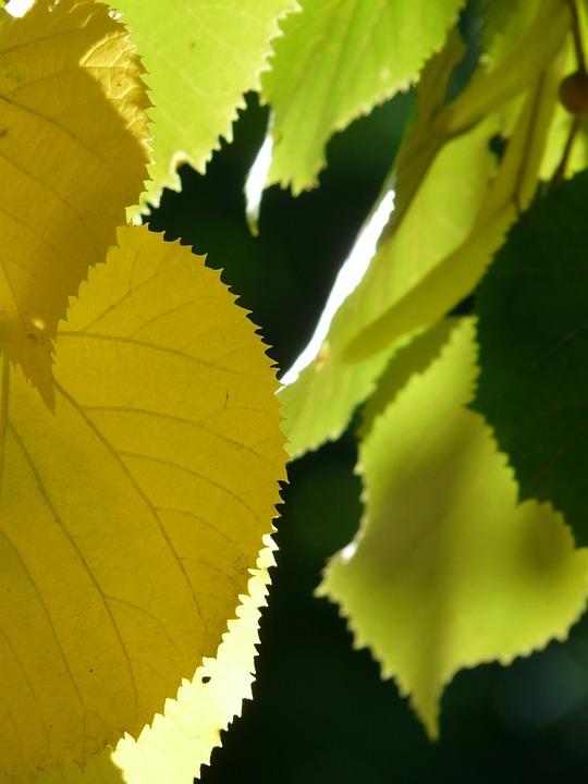 Lipovina, Leaves, Jagged, Edge, Smart, Leaf Margin