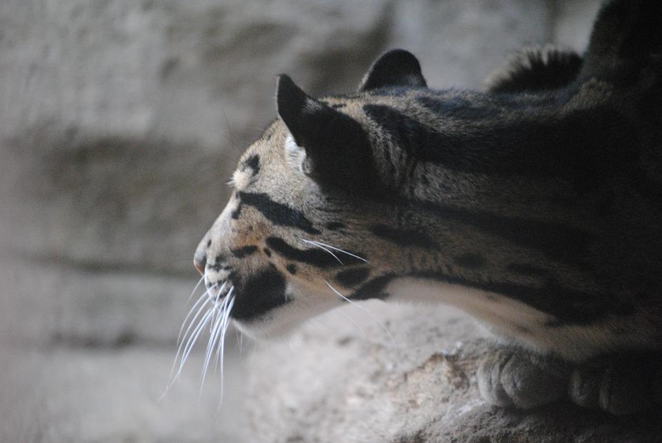 Jaguar, Blue, Animal, Nature, Wildlife, Wild, Cat, Fur