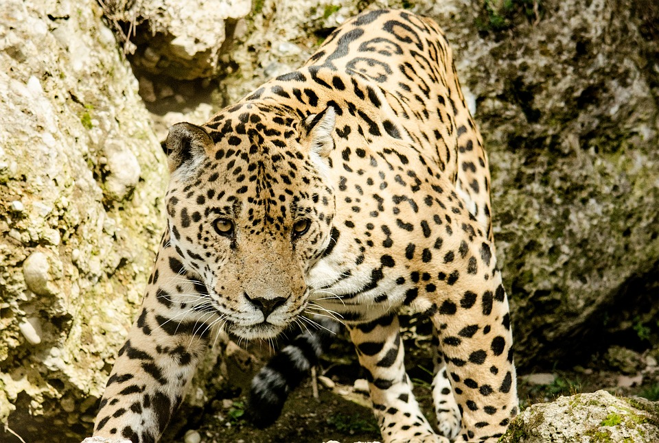 Jaguar, Big Cat, Wildcat, Zoo, Tiergarten, Dangerous
