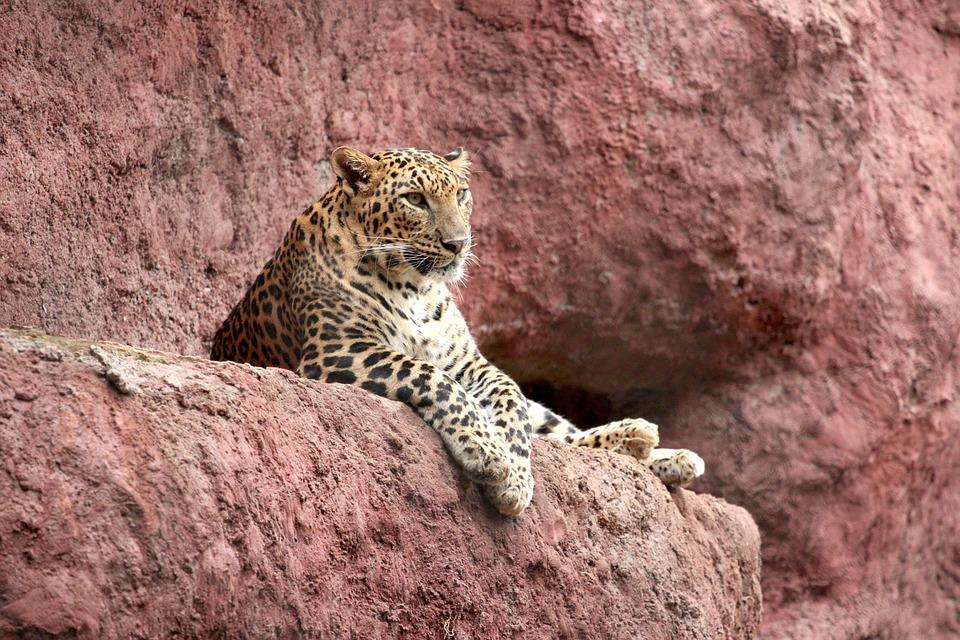 Jaguar, Cat, Zoo, Mammal, Carnivore, Feline, Dangerous
