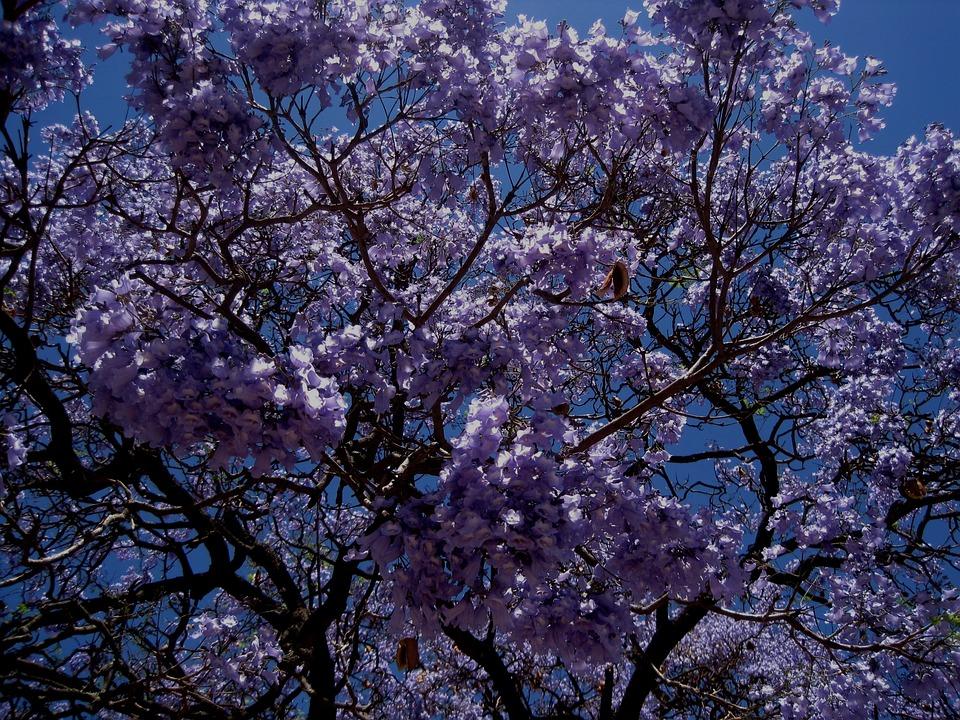 Jakaranda, Tree, Flower, Blooms, Dense, Petal