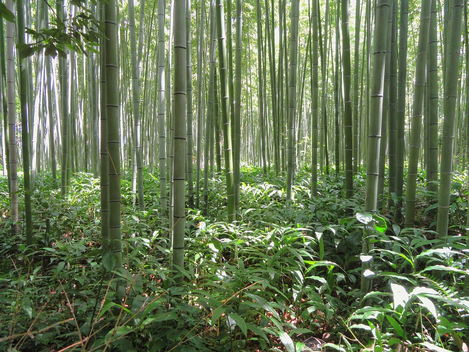 Kyoto, Japan, Bamboo, Bamboo Forest, Plant, Trees
