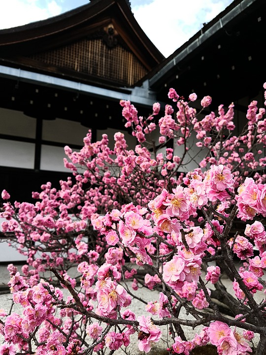 Cherry Blossom, Japan, Kyoto, Japanese, Temple, Nature
