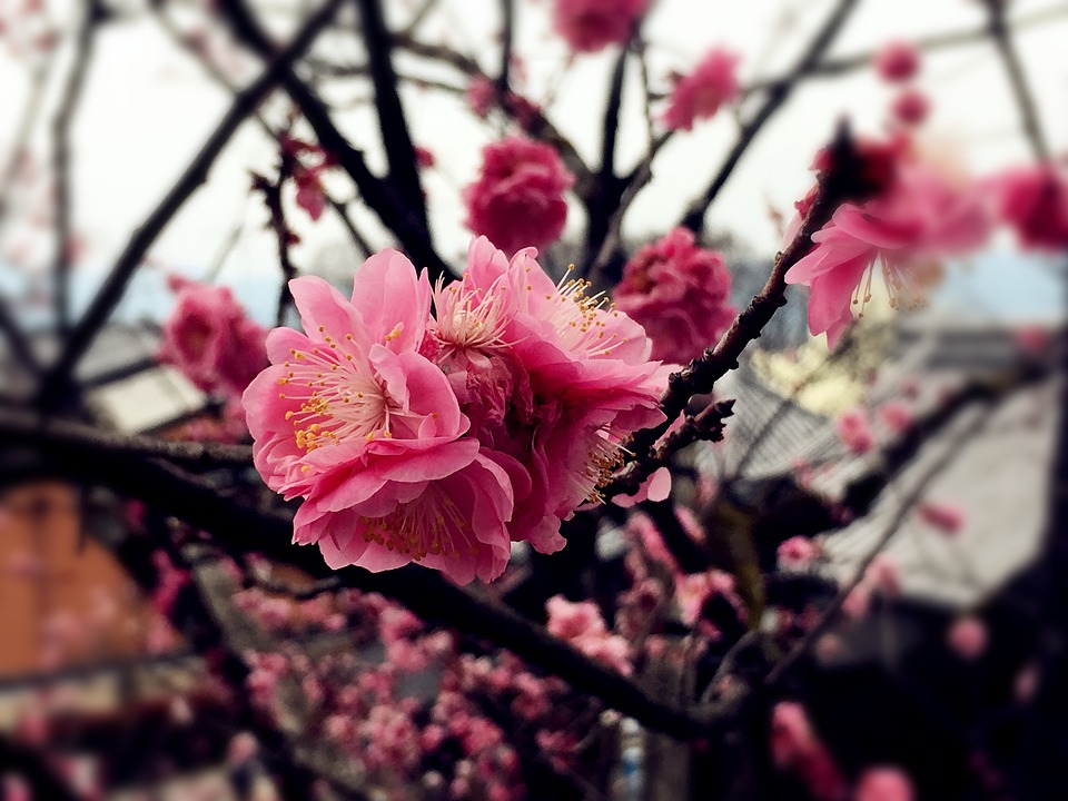 Cherry Blossoms, Pink Red, Japan