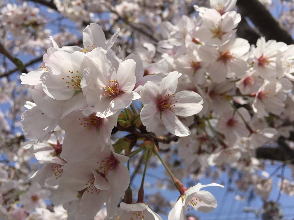 Cherry, Flowers, Japan