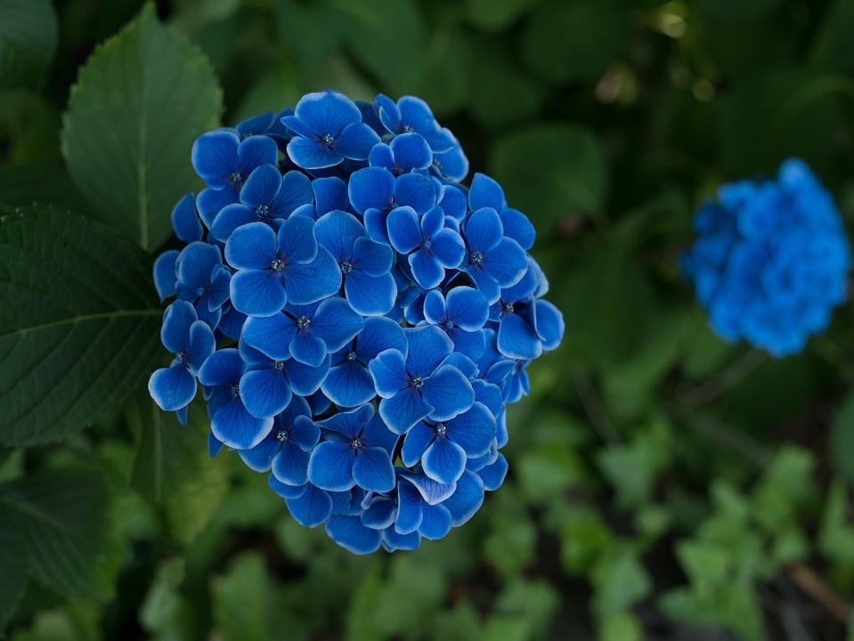 Hydrangea, Flowers, Rainy Season, Japan Flower, Flower