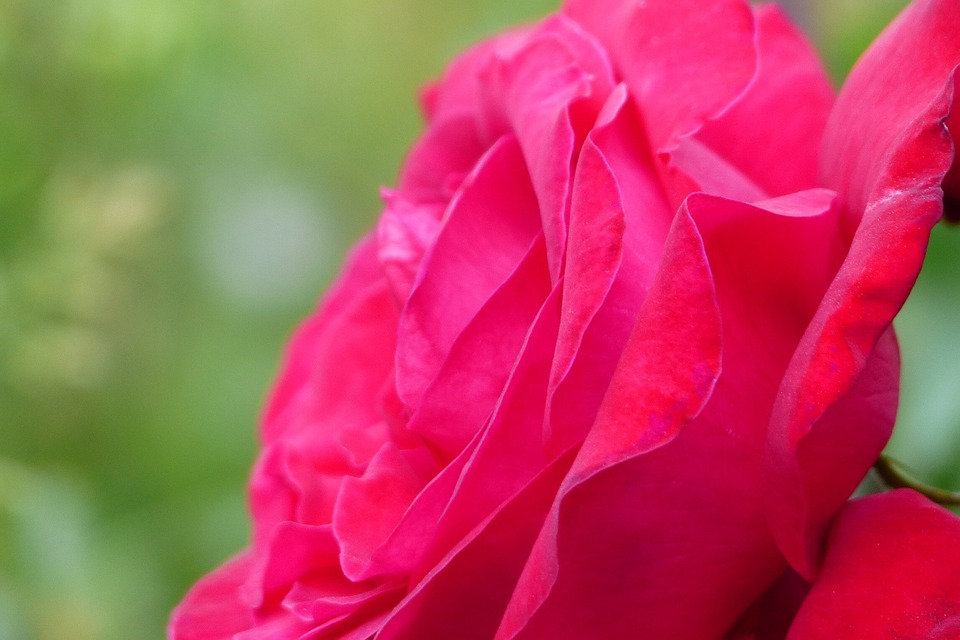 Flowers, In The Early Summer, Japan, Red, Rose