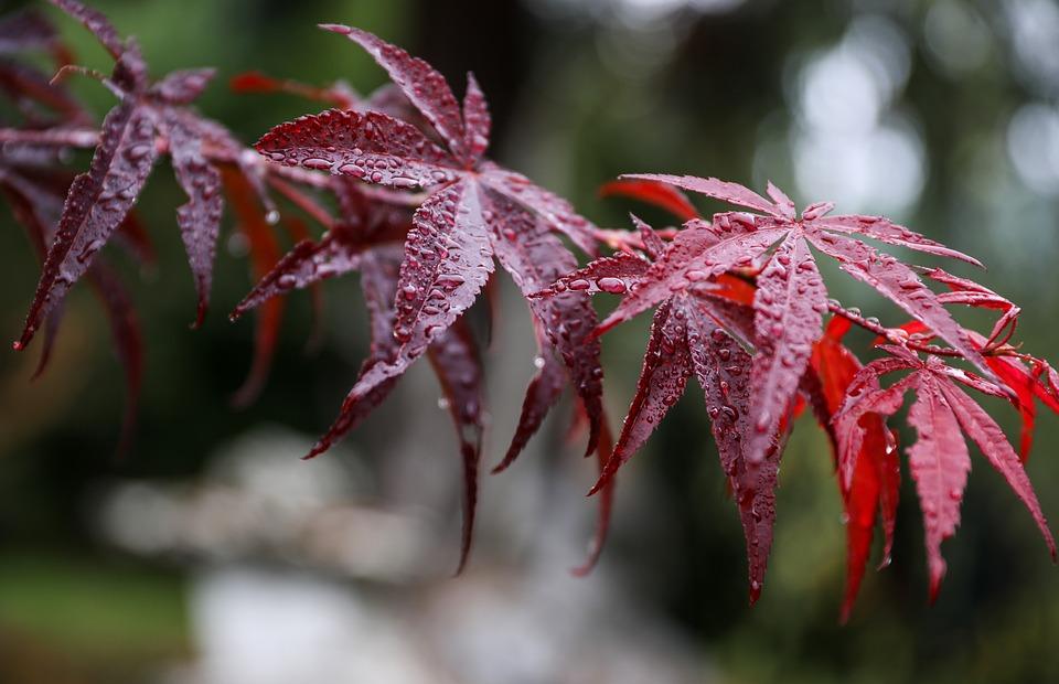 Maple Leaf, Japan Maple, Red Leaf, Acer Palmatum