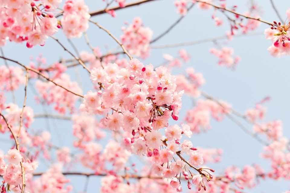 Natural, Plant, Flowers, Cherry, Japan, Spring, Pink