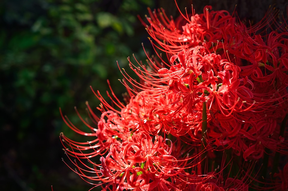 Natural, Autumn, Amaryllis, Spider Lily, Japan, Plant
