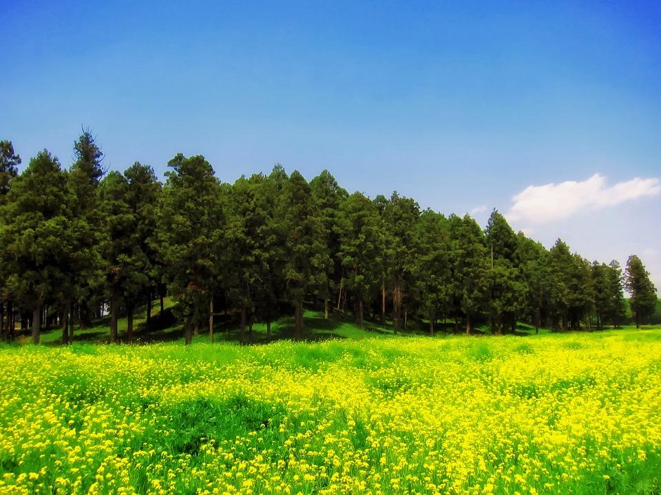 Japan, Landscape, Scenic, Wildflowers, Dandelions