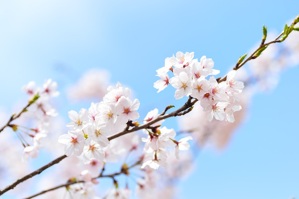 Spring, Plant, Cherry Blossoms, Flowers, Japan