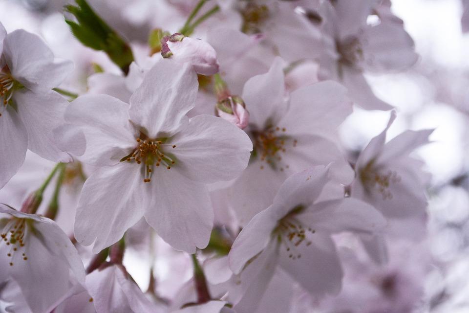 Free photo japan spring spring flowers cherry blossoms max pixel cherry blossoms spring japan spring flowers mightylinksfo