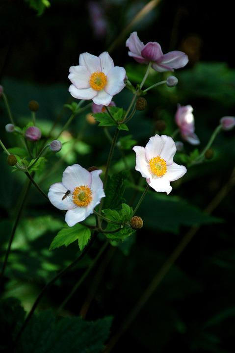 Japanese Anemone, Flowers, Plant, Bloom, Blossom