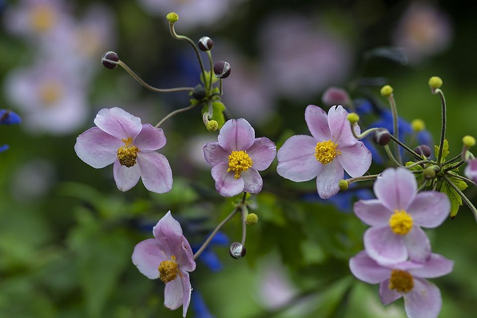 Japanese Anemone, Flowers, Plant, Petals, Fall Anemone