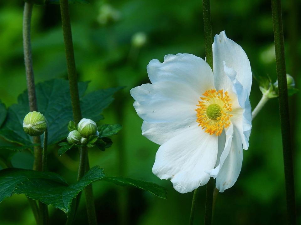 Japanese Anemone, Flower, Plant, Buds, White Flower