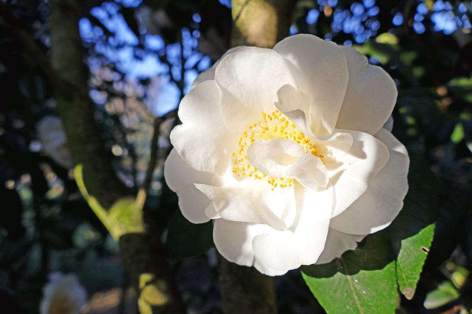 Japanese Camellia, White, Large Blooms, Bush, Tree