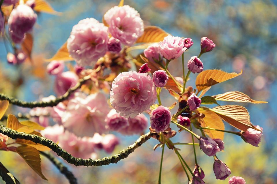 Japanese Carnation Cherry, Japanese Flowering Cherry