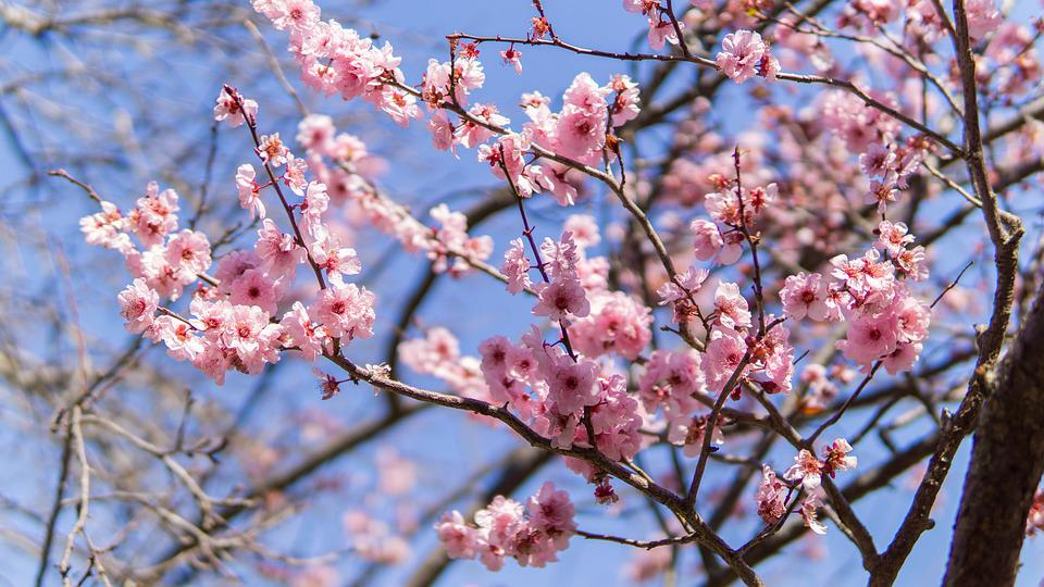 Free Photo Japanese Cherry Blossom Pink Sakura Blooming Japan Max
