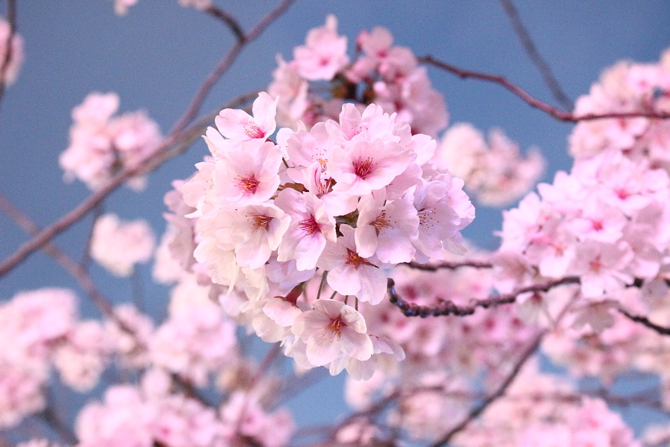 Japanese Cherry Blossom Tree, Flowers, Wood