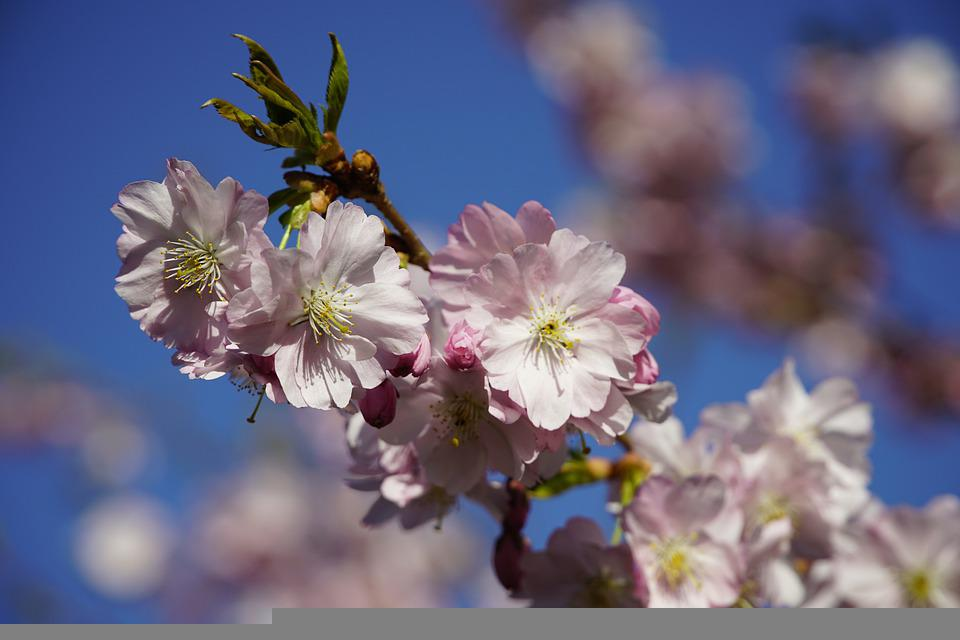 Japanese, Cherry Blossoms, Spring, Flowers, Tree, Pink