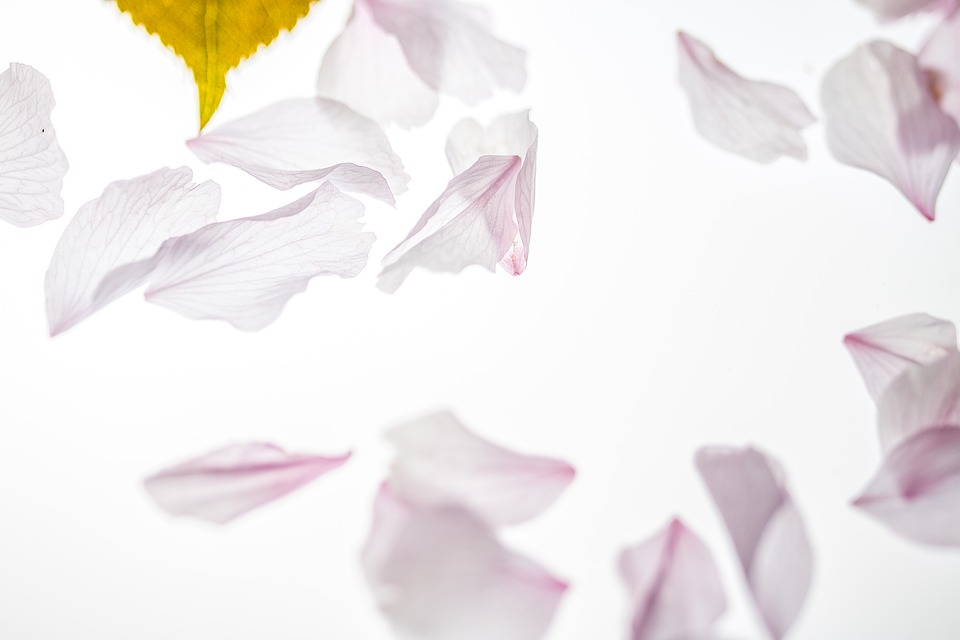 Petals, Falling, Japanese Cherry, Falling Leaves