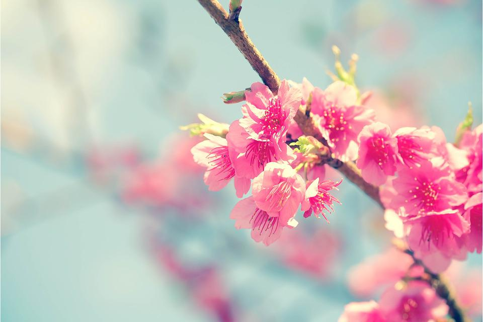 Sakura Cherry Blossom Flower Anese Nature