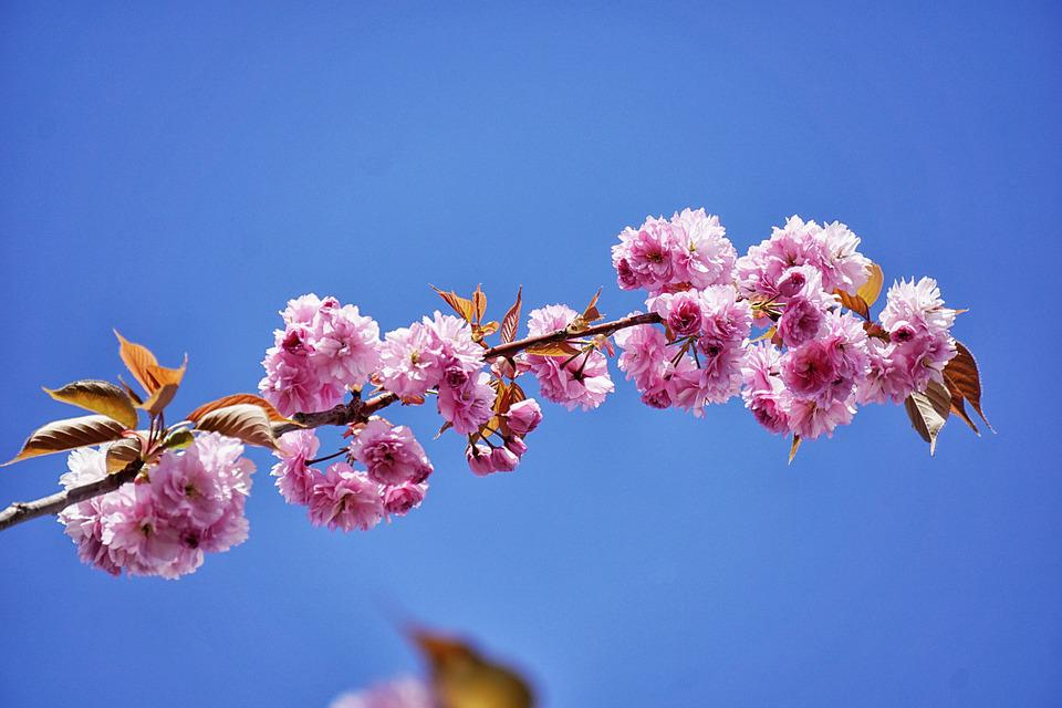 Free photo japanese cherry tree flowers japan cherry tree max pixel japan cherry tree tree flowers japanese cherry mightylinksfo
