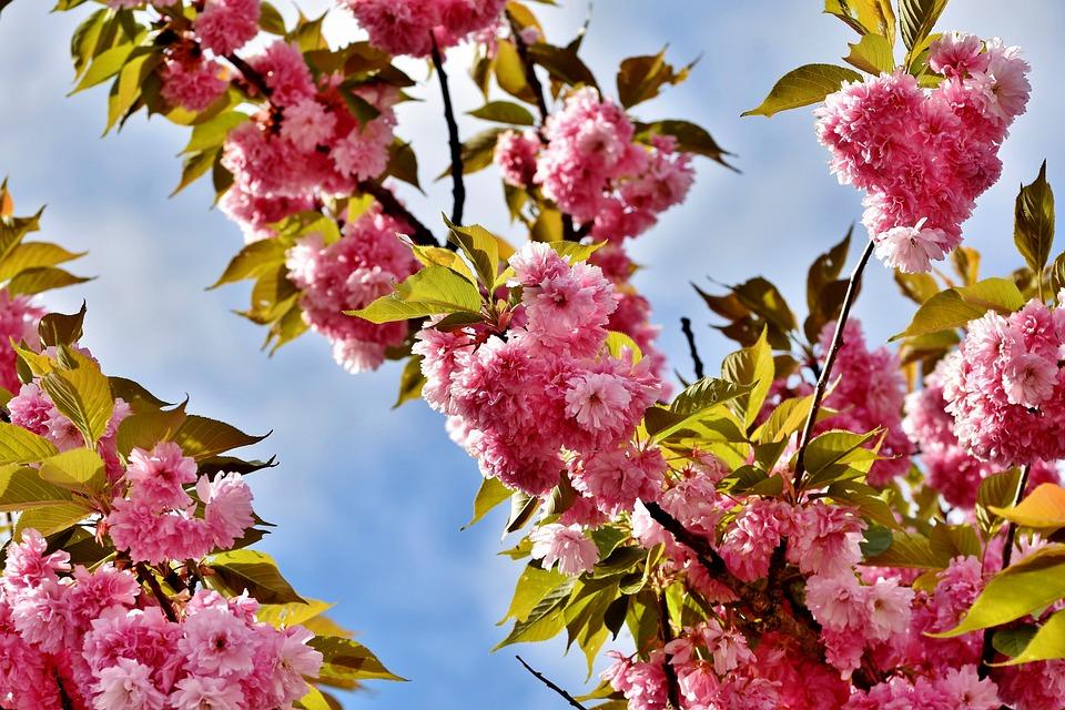 Cherry Blossom, Japanese Cherry Trees, Flowering Twig
