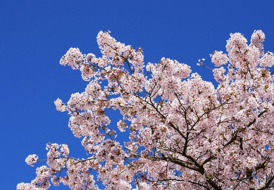 Cherry Blossoms, Japanese Cherry Trees, Cherry Wood