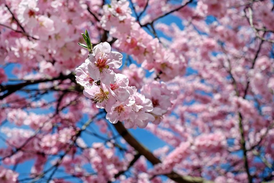 Free photo japanese cherry trees flower tree flowers tree pink max japanese cherry trees flowers pink tree flower tree mightylinksfo