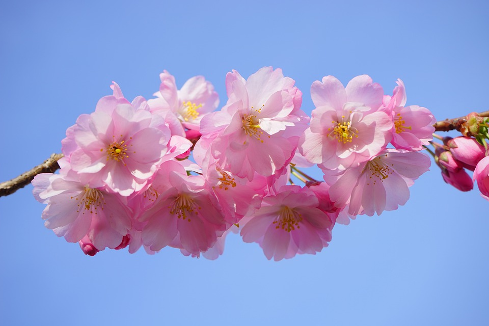 Japanese Cherry Trees, Flowers