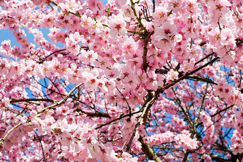 Free Photo Japanese Cherry Trees Pink Flowers White Tree Max Pixel