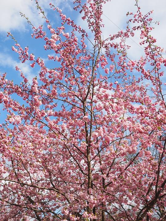 Flowers, Pink, Tree, Flower Tree, Japanese Cherry Trees