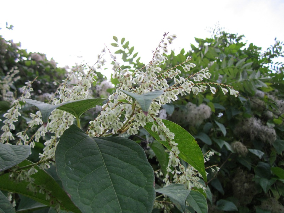Fallopia Japonica, Japanese Knotweed, Wildflower, Flora