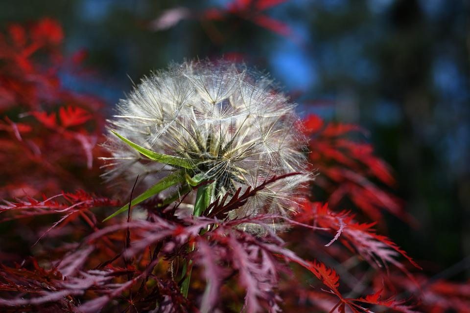 Japanese Maple, Had Salsify, Dandelion, Nature