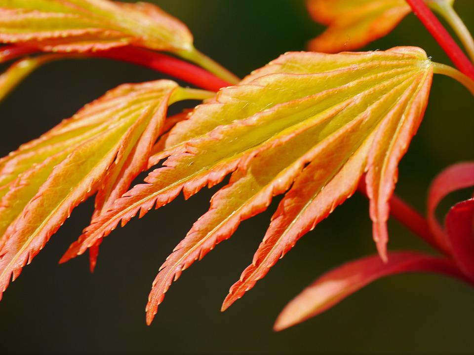 Maple, Japanese, Ornamental Shrub, Foliation, Leaf