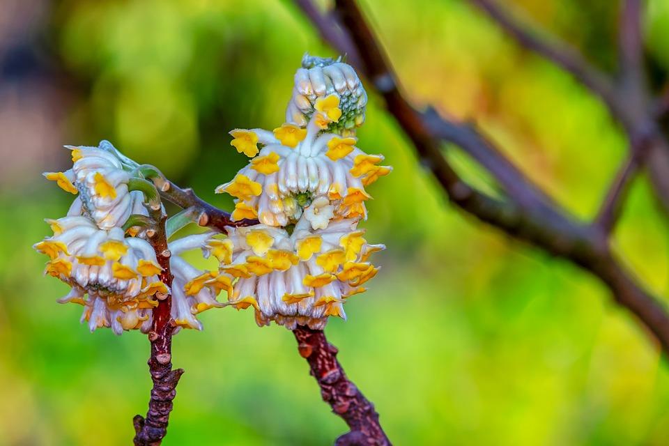 Japanese Paper Bush, Ornamental Shrub, Blooms