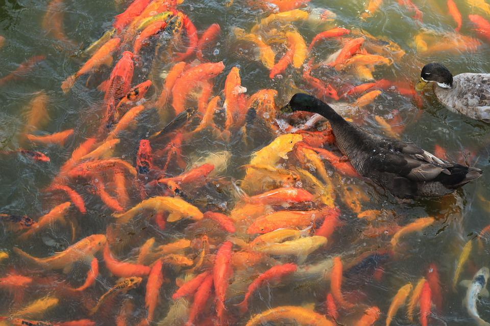 Koi Fish, Fish, Pond, Water, Carp, Japanese, Fortune