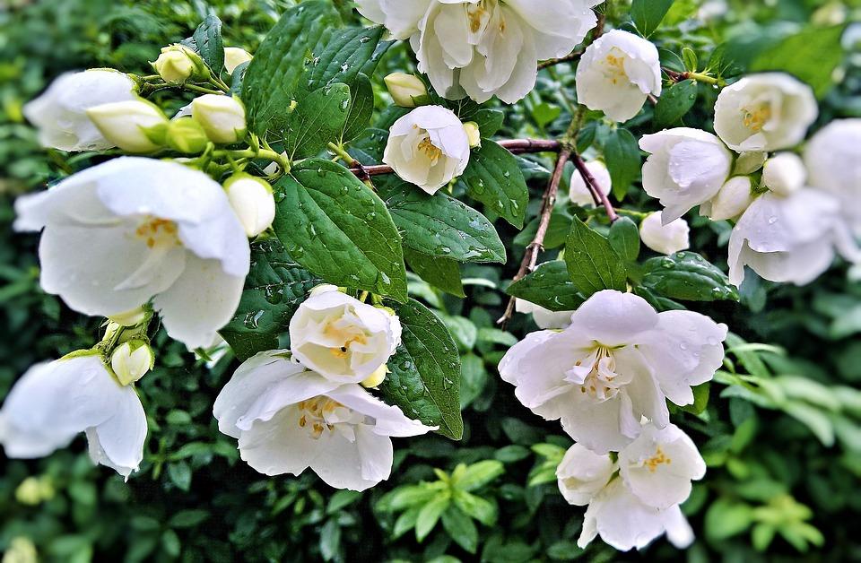 Flowers, Jasmin, Ornamental Shrub, Garden