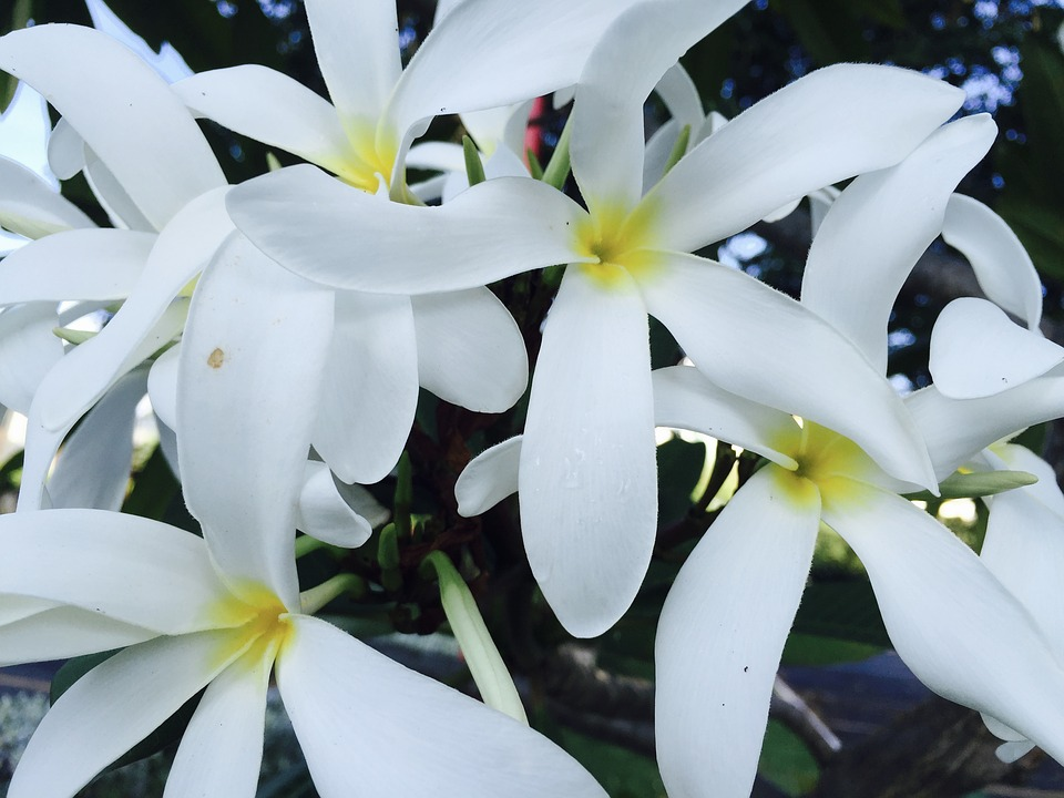 Jasmine, Flower, Flowers, White, Beautiful, Delicate
