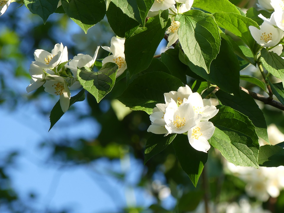 Free photo jasmine flower smell plant flowers jasmin white max pixel jasmin jasmine flower plant flowers white smell mightylinksfo