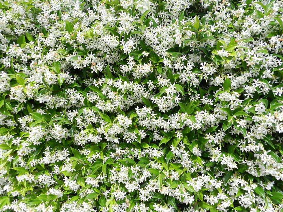 Free photo jasmine flowers white garden flower max pixel garden jasmine flowers white flower mightylinksfo