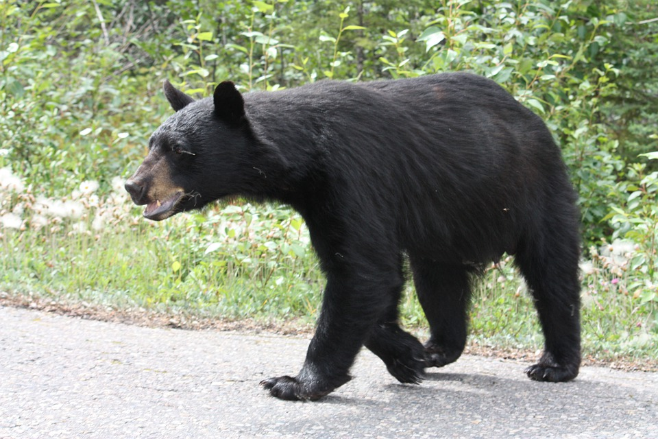 Black Bear, Bear, Jasper, Alberta, Canada, Animals