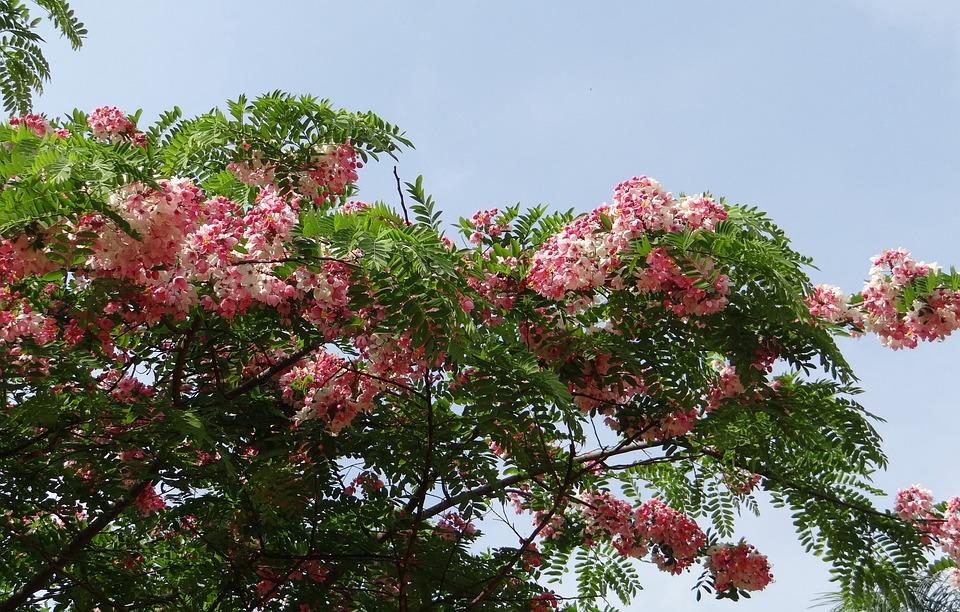 Cassia Javanica, Java Cassia, Pink Shower