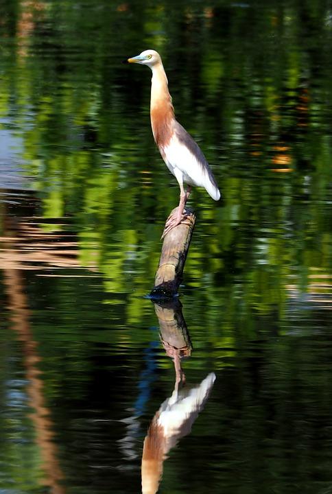 Javan Pond Heron, Alert, Perch, Wooden, Pole, Water