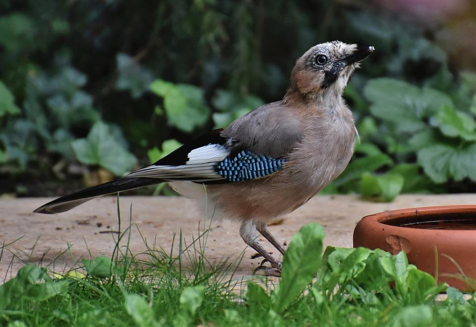 Jay, Bird, Animal, Bird Watching, Ornithology, Nature