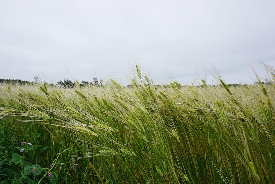Cheongbori, Barley, Barley Field, Island, Jeju Island