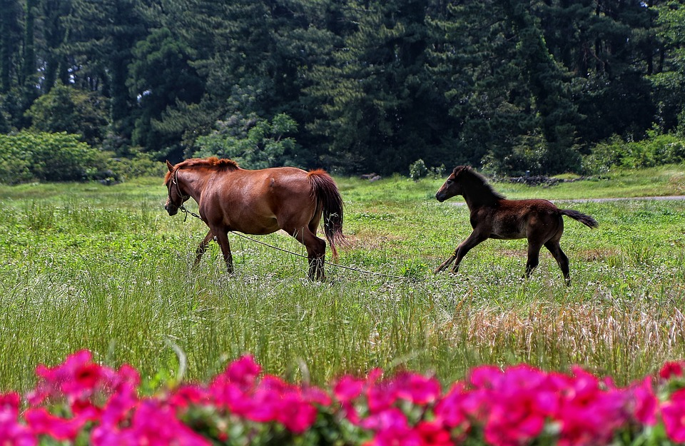 Horse, Jejuma, Jeju Island, Travel, Tourism, Flowers