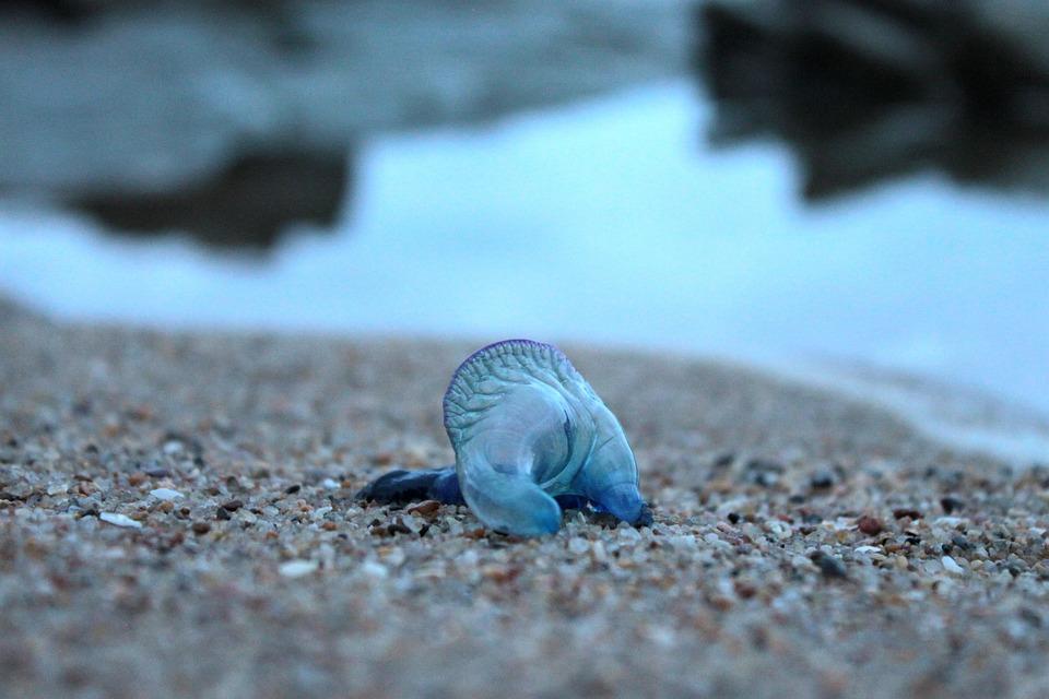 Blue Bottle, Jellyfish, Animal, Nature, Invertebrate